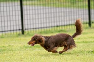 ペット写真(走る犬)