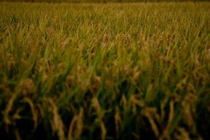 自然風景写真(稲)