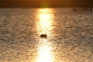 印旛沼写真(夕日の野鳥)